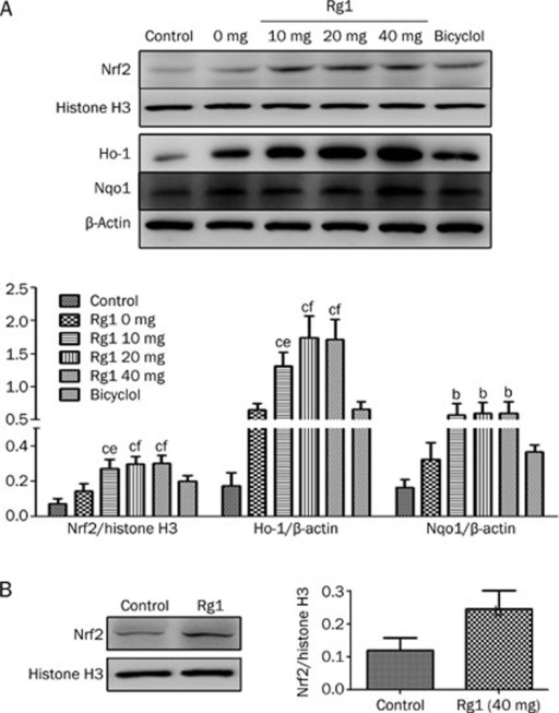 Effects of Rg1 on expression of Nrf2 pathway. (A) Rats were subcutaneously injected with CCl4 (0.2 mL/kg BW, twice per week) for 8 weeks, and Rg1 and bicyclol were administered at the last two weeks (once a day). (B) Rats were administered with saline and Rg1 (40 mg/kg) for two weeks (once a day). Western bloting analysis with the indicated antibodies. Histone H3 or β-Actin was used as an invariant control for equal loading. Representative blots were from three independent experiments. Data were expressed as mean±SD. Statistical evaluation was performed using t-test. Nucleus Nrf2 (A, B) and total Ho-1 and Nqo1 (A) were detected and analyzed. bP<0.05, cP<0.01 vs control. eP<0.05, fP<0.01 vs CCl4 alone.