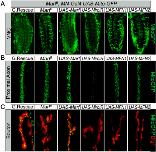 Mitochondrial trafficking defect in Marf mutants cannot be rescued by motor neuron expression of human MFN1 or MFN2.Mutations and controls were crossed to a motor neuron (MN) driver (D42-GAL4, UAS-mitoGFP) to label neuronal mitochondria. (A) Ventral nerve cord (VNC), MN-knockdown of dmiro in Marf mutant exhibit more clustered mitochondria in the soma compared to Marf alone, while neither MN-expression of MFN1 or MFN2 rescued the VNC mitochondrial trafficking defect of Marf mutants. (B) At the proximal end of the A3 axon, MN-knockdown of dmiro in Marf mutants had severed reduction of mitochondrial trafficking compared to Marf alone. (C) Neither MN-expression of MFN1 or MFN2 rescued the mitochondrial trafficking defect of Marf mutants in boutons co-stained with post-synaptic marker Discs Large 1 (Dlg1).DOI:http://dx.doi.org/10.7554/eLife.03558.010