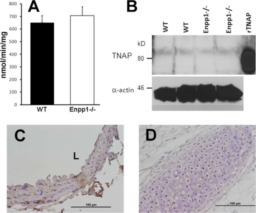 Calcification factors in calcified Enpp1−/− aortas. A. Activity of TNAP in intact mouse aortas. WT: wild-type. B. Immunoblots of TNAP. Each lane was loaded with 100 μg protein. Samples from one male and one female of each genotype are shown. Recombinant human TNAP (approximately 8 ng) was used as positive control. The faster mobility is due to the lack of glycosylation. C and D. Immunohistochemistry of osterix in calcified Enpp1−/− aorta and neonatal mouse spine.
