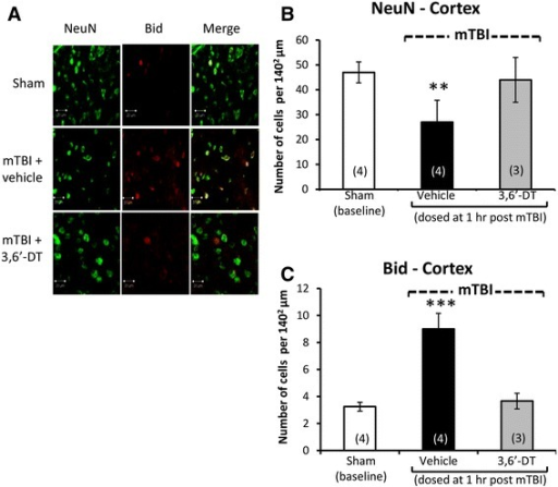 Neuronal loss and apoptosis is induced by mTBI in cerebral cortex ipsilateral to injury and mitigated by 3,6′-dithiothalidomide. At 72 h post injury, cerebral cortex ipsilateral to mTBI was assessed for cellular changes. (A) and (B) A decline in neuronal number indicative of neuronal loss (NeuN - green) was evident post mTBI (p < 0.01). Treatment with 3,6′-dithiothalidomide at 1 h post-injury prevented such a change. (A) and (C) An elevation in BID (a marker for apoptosis - red) was evident within mTBI brains (p < 0.001). No changes in apoptotic cell death were found in animals that were treated with 3,6′-dithiothalidomide (as compared to sham animals). Within (A) (representative sections within the cerebral cortex), the bar is equal to 20 μm in length.