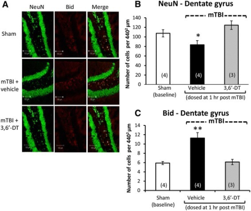 Neuronal loss and apoptosis is induced by mTBI in the dentate gyrus ipsilateral to injury and mitigated by 3,6′-dithiothalidomide. At 72 h post injury, the dentate gyrus of the hippocampus ipsilateral to mTBI was evaluated for cellular changes. (A) and (B) Neuronal loss (NeuN - green) was found post mTBI (p < 0.05). Treatment with the 3,6′-dithiothalidomide at 1 h post-injury prevented this loss. (A) and (C) An increase in BID (a marker for apoptosis in red) was evident in the mTBI brains (p < 0.01). No change in apoptotic cell death was apparent in animals treated with 3,6′-dithiothalidomide (as compared to sham animals). Within (A) (representative sections within the dentate gyrus), the bar is equal to 100 μm in length.