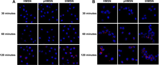 Confocal laser scanning microscopic images of MDA-MB-231 cells (A) or human umbilical vein endothelial cells (B) incubated with HMSN, pHMSN, or tHMSN loaded with the same amount of doxorubicin for different periods of time. Blue indicates Hoechst 33342. Red indicates doxorubicin.Abbreviations: HMSN, hollow mesoporous silica nanoparticles; tHMSN, tLyp-1 and polyethylene glycol co-modified HMSN; pHMSN, polyethylene glycol-modified HMSN.