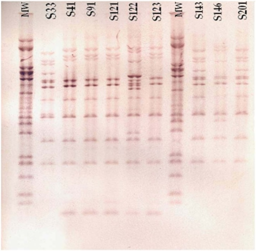 Ribotype profiles of Shigella isolates; Lanes MW: Molecular Weight Marker (Citrobacter koseri CIP 105177 DNA was cleaved by MluI restriction endonuclease and the fragments were used as molecular size standards (the sizes are from top to bottom, respectively in base pairs): 16752, 12482, 7330, 6552, 5752, 5098, 4405, 3023, 2778, 1696, 1444 and1171).