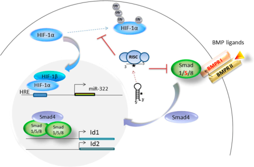 Model depicting the regulation of miR-322 in PASMCs response to hypoxia.Hypoxia-sensing via HIF-1 upregulates the transcription of miR-322, which then exerts positive feedback by facilitating stabilization of HIF-1α by targeting the molecules involved in its degradation for ubiquitination and degradation23. Dysregulation of BMP signaling by increased miR-322 promotes the proliferation and migration of PASMCs.