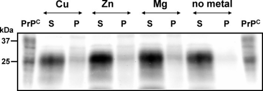 Amino-terminally truncated PrPC isoforms are unable to bind metal ion.Proteins from pooled wild-type C57BL mouse brain homogenate were treated enzymatically with bromelain (50 µg/ml, 37°C, 60 min) generating a carboxy-terminal core protein lacking the octapeptide region to which divalent cations might bind. After incubation in the presence of CuCl2 (Cu), ZnCl2 (Zn) and MgCl2 (Mg) in concentrations of 1 mM each or in the absence of metal ions (no metal), proteins were separated by centrifugation into fractions of high and low solubility, respectively, represented as supernatants (S) and pellets (P). Proteins were separated by SDS-PAGE, immunoblotted and PrPC signals were visualized using mab SAF70 and chemiluminescence substrate development. Untreated protein (PrPC) was used as control.