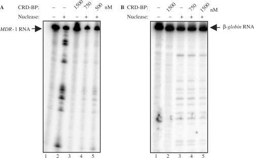 CRD-BP is capable of shielding MDR-1 RNA from endonucleolytic attack by the mammalian endoribonuclease. (A) One unit of the purified mammalian endoribonuclease was incubated with [32P] MDR-1 RNA nts 746–962 as described in the Materials and methods section, without (lane 2) or with the presence of 500 nM (lane 5), 750 nM (lane 4) or 1500 nM (lane 3) of purified recombinant His6-tagged CRD-BP. Lane 2 had the input RNA only. (B) As in (A), the purified endoribonuclease was incubated with [32P] β-globin RNA nts 1–145 without (lane 3) or with the presence of 750 nM (lane 4) or 1500 nM (lane 5) of purified recombinant His6-tagged CRD-BP. Lane 1 had the input RNA only.