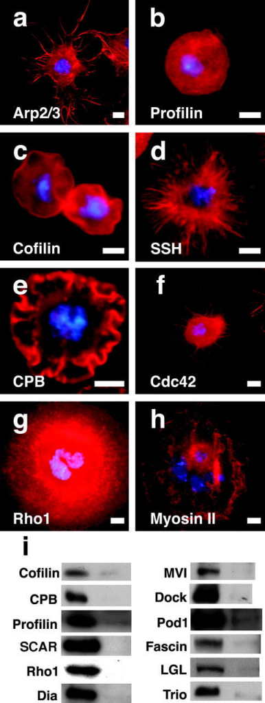 RNAi-mediated inhibition of actin regulatory proteins disrupts normal cellular morphology in S2 cells on con A. Untreated cells are shown in Fig. 1 (c and d). Cells were treated with dsRNA against the p20 subunit of the Arp2/3 complex (a), profilin/chickadee (b), cofilin/twinstar (c), slingshot (d), capping protein β (e), Cdc42 (f), Rho1 (g), and myosin II/zipper (h) for 7 d and then plated on con A and stained with rhodamine-phalloidin (red) and DAPI (blue) to visualize filamentous actin and DNA, respectively. (i) Immunoblots demonstrating the effectiveness of RNAi on the levels of 13 different proteins: cofilin/twinstar, capping protein β (CPB), SCAR, Rho1, diaphanous (Dia), enabled (Ena), myosin VI (MVI), Nck/dreadlocks (Dock), Pod1, fascin/singed, lethal giant larvae (LGL), and Trio. Exactly 10 μg of total cellular protein was loaded for each lane. Bars, 5 μm.