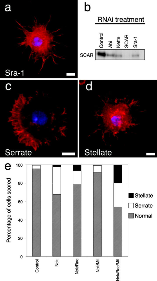 Control of SCAR degradation and activation. Inhibition of SCAR-associated proteins kette, Sra-1, or Abi by RNAi causes degradation of SCAR itself. S2 cells were treated with dsRNA corresponding to the coding sequence for Sra-1 (a) for 7 d and then plated on con A and stained with phalloidin to visualize actin (red) and DAPI to view DNA (blue). The morphology of these cells closely resembles the defects in lamellae formation produced by Arp2/3 and SCAR RNAi (Fig. 3, b and c). Similar results were observed with RNAi against kette and Abi (not depicted). Bar, 5 μm. (b) Quantitative immunoblotting of cells treated with dsRNA versus Abi, kette, SCAR, and Sra-1 with antibodies against SCAR. Depletion of these proteins by RNAi decreases the amount of SCAR present in S2 cells. Equal protein loading was verified by Bradford assay (not depicted). (c and d) Cells treated with dsRNAi to simultaneously inhibit Rac1, Rac2, Mtl, and Nck show a variety of lamella defects. Among these are a malformed, serrate cell margin (c) and the stellate morphology similar to SCAR RNAi (Fig. 3, b and c). (e) Graph showing the quantitation of morphological defects caused by inhibition of Nck, Rac1/2, and Mtl. Bars, 5 μm.