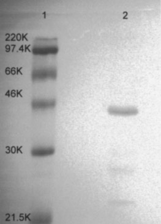 Electrophoretic separation of proteins on a 12% SDS polyacrylamide gel. Lane 1 molecular weight markers; Lane 2 LMF (5 μg protein) eluted from Resource-Iso column at 0.6 M (NH4)2SO4.