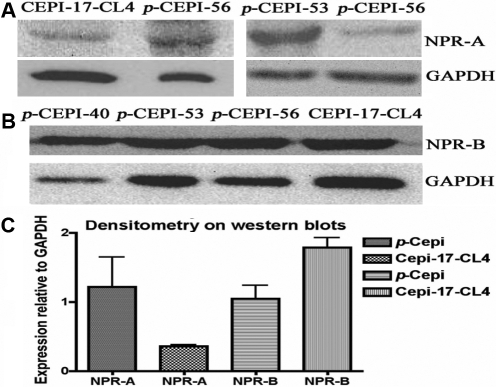 Expression of NPR-A and NPR-B in human p-CEPI cells and CEPI-17-CL4 cells as determined by western blot analysis. A: The presence of NPR-A protein (band observed at 40–55 kDa) in CEPI-17-CL4 and in human p-CEPI cells (from 56, 53, and 56 year old donors) is shown. B: The presence of NPR-B protein (band observed at 24 kDa) is shown for three different donors of human p-CEPI cells (ages 40, 53, and 56) cells and in CEPI-17-CL4 cells. C: The expression of NPR-A and NPR-B in human p-CEPI and CEPI-17-CL4 cells was normalized to GAPDH. The figure shows an apparent lower expression of NPR-A in CEPI-17-CL4 cells than in human p-CEPI cells (p<0.1); the expression of NPR-B was higher in CEPI-17-CL4 than that in human p-CEPI cells (p<0.05). The NPR-B expression was greater than NPR-A expression in CEPI-17-CL4 cells (p<0.05). However, the both receptor subtypes were expressed to the same extent in the p-CEPI cells (p<0.1).