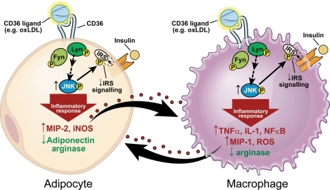 a study on nf kb and its relationship with inflamation and the alternative pathway How to cite nguyen, d p, li, j, yadav, s s and tewari, a k (2014), recent insights into nf-κb signalling pathways and the link between inflammation and prostate cancer.