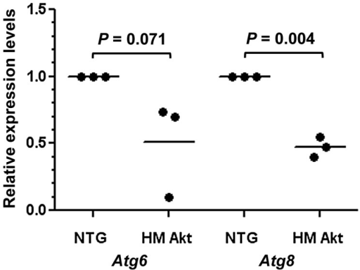 Atg6 and Atg8 expression levels were reduced in 18 d HM myrAkt relative to NTG An. stephensi.Midguts were dissected from 18 d HM myrAkt and NTG An. stephensi for RNA isolation and quantitative RT-PCR as described in the Methods. The analyses were performed on midgut RNAs from three independent cohorts of An. stephensi. Each data point represents Atg6 or Atg8 expression from one of three biological replicate samples; values were normalized to NTG levels (indicated as 1.0). Means are indicated as bars for each treatment. Data were analyzed by paired Student's t-test (alpha = 0.05) and P values are noted on the graph.