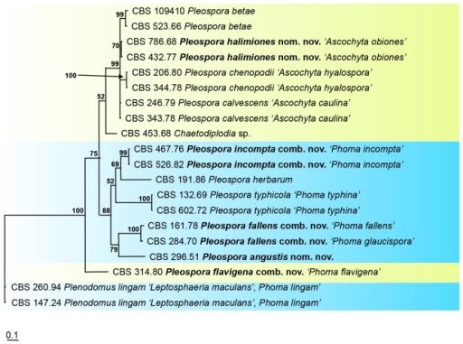 The phylogeny of phoma-like anamorphs in the Pleosporaceae based on the strict consensus tree from a Bayesian analysis of 20 ACT sequences. The Bayesian posterior probabilities are given at the nodes. The tree was rooted to Plenodomus lingam (CBS 147.24, CBS 260.94).