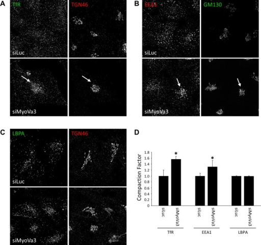 "Myosin Va depletion induces perinuclear clustering of endocytic recycling pathway membrane compartments. HeLa cells transfected with control siRNA or myosin Va siRNA for 72 h were fixed, permeabilized, and colabeled with antibodies to the TfR and TGN46 (A), EEA1 and GM130 (B), or LBPA and TGN46 (C). (D) Quantification of the fluorescence intensity of TfR, EEA1, or LBPA in the pericentrosomal region relative to the total cellular fluorescence intensity and expressed as a ""compaction factor."" Data were normalized to the control (mean ± SEM; n = 30–50 cells). *p <10−4, Student's t test."