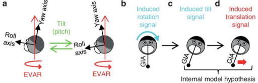 Schematic illustrating the Tilt-While-Rotating (TWR) stimulus(a) Constant velocity earth-vertical axis rotation (EVAR, red arrow), superimposed on nose-up and nose-down pitch tilt. The yaw and roll axes of the head are represented by black arrows. (b)–(d) Representation of the induced roll rotation, the resulting head tilt estimate and the erroneous translation signal induced during steady-state TWR. The gravito-inertial acceleration (GIA) sensed by the otolith organs is represented by a pendulum. Only in the presence of a linear acceleration (translation signal, red arrow), such as shown in Fig. 1d, a pendulum would remain aligned with the head/body vertical axis while tilted.