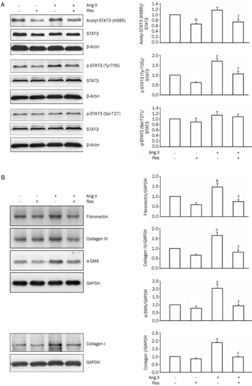 Effect of resveratrol (Res) on Ang II-induced STAT3 activation and expression of pro-fibrotic genes in NRK-52E cells. Cells were treated with Ang II in the presence or absence of Res. (A) After 1 h of Ang II treatment, with or without 1 h Res (12.5 μmol/L) pretreatment, acetyl-STAT3 (Lys685), phospho-STAT3 (Tyr705) and phospho-STAT3 (Ser727) were analyzed by Western blot analysis. (B) After 48 h of Ang II treatment, with or without 1 h Res (12.5 μmol/L) pretreatment, fibronectin, collagen I, collagen IV, and α-SMA were analyzed by Western blot analysis. Media containing Ang II or Res were changed every 24 h. Data are the mean±SEM of 4 experiments. bP<0.05, cP<0.01 compared with control [Ang II (−) and Res (−)]. fP<0.01 compared with Ang II only.