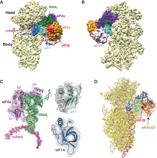 Cryo-EM Structure of the Eukaryotic Preinitiation Complex in the PIN State(A and B) CryoEM maps of the py48S PIC at 4.0 Å shown in two orientations. Regions of the map are colored by component to show the 40S subunit (yellow), eIF1A (blue), eIF1 (cyan), Met-tRNAiMet (green), mRNA (magenta), eIF2α (violet), eIF2γ (orange), and eIF2β (red). Density which may correspond to eIF5 is shown in pink. The density for eIF2β, eIF2γ, and eIF5 is low-pass filtered to 8 Å. The same colors are used in all the figures.(C) Maps at 4.0 Å for tRNAi, mRNA, and eIF2α contoured at 3σ and eIF1 contoured at 2σ.(D) Atomic model for the PIC in the same colors except that 40S proteins and rRNA are displayed in various shades of yellow. rRNA helix 44 is displayed brown.See also Figures S1–S4 and Table S1.