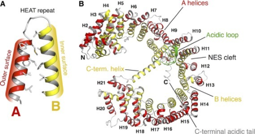 HEAT-repeat architecture and overall structure of CRM1. (A) Structural organization of a HEAT repeat composed of two consecutive anti-parallel helices connected by a short linker loop. Commonly, the A-helix (red) is located at the outer, convex surface and the B-helix (yellow) lines the inner, concave area. HEAT repeats are characterized by pronounced intra-HEAT-repeat hydrophobic interactions. (B) CRM1 consists of an array of 21 consecutive HEAT repeats (H1–H21) forming an overall superhelical and flexible molecule. The acidic loop (green), NES cleft and the C-terminal helix with the adjacent C-terminal acidic tail are structural key features crucial for CRM1 function.