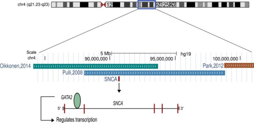 Schematic representation of chromosome 4.The α-synuclein gene (SNCA) that was found to be up-regulated after music perception in this study is located in the best linkage region of musical aptitude as shown by Pulli et al. (2008), Park et al. (2012) and Oikkonen et al. (2014). GATA2, which is located in the best genome-wide association region of musical aptitude (Oikkonen et al., 2014) and regulates the SNCA, is also shown.