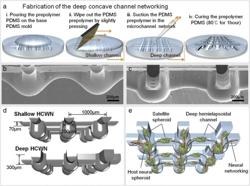 Neural network formation in a deep HCWN system. (a) Concave channel networks were fabricated by exploiting the surface tension of a PDMS prepolymer, as follows: i) Prepolymer PDMS was poured onto a base mold (PDMS). ii) The prepolymer was removed from the base mold by wiping out liquid PDMS, forming a meniscus. iii) For deep HCWN plates, PDMS prepolymer left behind after step ii is removed by suctioning. iv) After curing, the base mold was used for fabrication of a prepolymer PDMS concave channel network. (b,c) SEM images of a cross-section of the concave channel network, showing connections of concave well arrays with concave channels in shallow HCWN plates (b) and deep HCWN plates (c). (d) Schematic view showing the dimensions of shallow and deep HCWN plates. (e) Schematic depiction of formation of a neural network, including satellite spheroids and neurite bundles, in a concave channel network.