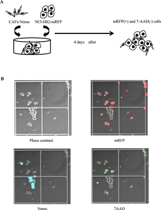 Co-culture model of SCLC cell lines and cancer-associated fibroblasts (CAFs)(A) Scheme of experimental procedure. (B) Phase contrast image (left upper), mRFP-labeled cancer cells (right upper), Venus-labeled CAFs (left lower), and 7AAD-positive cancer cells (right lower) as viewed using an optical microscope.