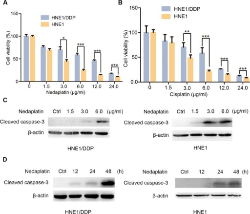 HNE1/DDP cells were resistant to nedaplatin-induced cell death.(A&B) HNE1 cells and HNE1/DDP cells were treated with the indicated concentrations of nedaplatin (A) or cispaltin (B) for 48 h. Cell viability was determined by MTT assay at the wavelength of 570 nm. Data are mean ± SD from five independent experiments. *p<0.05, **p<0.01 and ***p<0.0001 compared to HNE1 cells. (C) Western blot analysis for the expression of cleaved caspase 3 protein in HNE1 and HNE1/DDP cells treated with the indicated concentrations of nedaplatin for 48 h. (D) Western blot analysis for the expression of cleaved caspase 3 protein in HNE1 and HNE1/DDP cells treated with 6.0 μg/ml nedaplatin as indicated time.