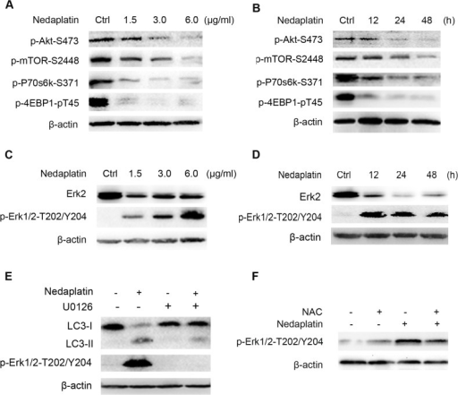 Akt/mTOR and ERK signaling pathways were involved in nedaplatin-induced autophagy in HNE1/DDP cells.(A) HNE1/DDP cells were treated with different concentrations of nedaplatin for 48 h. Levels of pAkt, pmTOR, pP70S6K, and p4E-BP1 were detected by western blot. (B) HNE1/DDP cells were treated with 6.0 μg/ml nedaplatin as indicated times. Levels of pAkt, pmTOR, pP70S6K, and p4E-BP1 were detected by western blot. (C) HNE1/DDP cells were treated with different concentrations of nedaplatin for 48 h. Protein extracts were analyzed using Erk1/2 and phospho-Erk1/2 (Thr202/Tyr204) by western blot. (D) HNE1/DDP cells were treated with 6.0 μg/ml nedaplatin as indicated times. Protein extracts were analyzed using Erk1/2 and phospho-Erk1/2(Thr202/Tyr204) by western blot. (E) HNE1/DDP cells were treated with 6.0 μg/ml nedaplatin for 48 h with or without the pretreatment of U0126 (20 μM) for 2h. Protein extracts were examined by Western blot using LC3 I/II and phospho-Erk1/2 (Thr202/Tyr204) antibodies. (F) The phospho-Erk 1/2 (Thr202/Tyr204) levels were examined by western blot after the nedaplatin treatment with or without of NAC (10 mM) for 48 h.