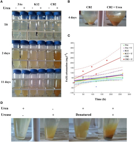 Thiomonas urea degradation activity promotes Fe(II) oxidation/precipitation in AMD-impacted water supplemented with urea. K12, 3As, and CB2 were incubated at an initial OD600nm of 0.2 – 0.3 in AMD-impacted water in the absence and presence of 1 g.L−1 urea. (A) The medium supplemented with urea and CB2 acquired an orange color with time, which did not occur with 3As or K12. (B) Orange precipitate detected after centrifuging 4-day cell cultures of CB2 in AMD-impacted water supplemented or not with 1 g.L−1 urea. (C) Kinetics of Fe(II) oxidation/precipitation. Fe(II) oxidation/precipitation is expressed as the difference between the Fe(II) concentrations measured in the soluble fractions of the non-inoculated and inoculated samples. The dotted line gives the 5% confidence interval of each of the regression lines, computed with the MATLAB fitlm command. (D) Effects of urease activity on the formation of orange precipitate in the AMD-impacted water. AMD-impacted water was supplemented with 10 U of purified urease in the presence and absence of 1 g.L−1 urea. As an additional control, urease was heat-inactivated for 5 min at 95°C.