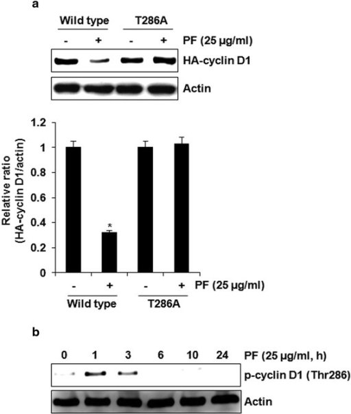 T286 phosphorylation of cyclin D1 by PF contributes to the proteasomal degradation. a HCT116 cells were transfected with wild type HA-tagged cyclin D1 or HA-tagged T286A cyclin D1 expression vector, and then treated with PF (25 μg/ml). *P < 0.05 compared to cell without PF treatment. b HCT116 cells were treated with PF (25 μg/ml) for the indicated times. Cell lysates were subjected to SDS-PAGE and the Western blot was performed using antibodies against HA-cyclin D1 and p-cyclin D1 (Thr286). Actin was used as internal control for Western blot analysis