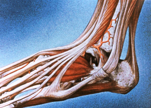 left ankle; left foot; tibialis anterior muscle and tendon; extensor hallucis longus muscle and tendon; extensor hallucis brevis muscle and tendon; fibularis (peroneus) tertius muscle and tendon; extensor digitorum longus muscle and tendons; extensor digitorum brevis muscle; fibularis (peroneus) brevis muscle and tendon; fibularis (peroneus) longus tendon; gastrocnemius muscle; Achilles (calcaneal) tendon; inferior fibular (peroneal) retinaculum; abductor digiti minimi muscle; calcaneus; fibular lateral malleolus; lateral malleolar artery; lateral tarsal artery; calcaneofibular ligament