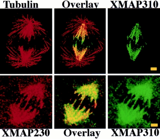 (Top) XMAP310 localization in the mitotic spindle:  MTs stained with a rabbit anti-tublin pAb in the rhodamine channel (Tubulin), XMAP310 in the fluorescein channel (XMAP310)  and in overlay (Overlay). (Bottom) XMAP230 and XMAP310  colocalize (Overlay) to the central region of the mitotic spindle in  XL177 cells. Images were obtained by confocal microscopy. Bar,  2.5 μm.