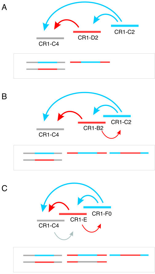 Principle behind the TinT method. Examples of directed insertions of CR1 elements active at different periods. (A) Shows three different CR1 subytpes, active at non-overlapping periods and their resultant TinTs (in box below). As indicated by blue arrows, the youngest element (C2) inserted into both older subtypes (D2 and C4). D2 was active after C4 became inactive and inserted into the latter (red arrow). (B) Example of CR1 subtypes active at overlapping and non-overlapping periods. Only elements that were active during overlapping periods (C2 and B2) had the opportunity to insert each into the other. As the activity period of the B2 element only partially overlapped that of the C2, fewer insertions occurred in the B2-C2 direction (indicated by the thinner arrow). (C) Example of three CR1 subtypes active at overlapping periods. Note that the activity of C4 does not overlap that of F0, thus there was no opportunity for C4 to insert directly into F0. Again, fewer insertions of older elements into younger ones are indicated by thinner arrows.