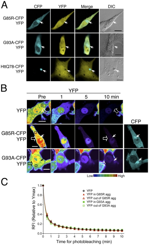 Mutant SOD1 aggregates form a disordered honeycomb-like porous structure. (A–C) Differentiated PC12 cells were transiently transfected with constructs encoding YFP together with G85R-CFP, G93A-CFP, or httQ78-CFP, as indicated. (A) Colocalization of YFP with G85R-CFP, G93A-CFP, or httQ78-CFP aggregates. YFP (YFP, yellow) and CFP fusion protein (CFP, cyan) were visualized by confocal microscopy and phase contrast microscopy (DIC). Colocalization was illustrated by merging YFP and CFP channels (Merge). Arrows indicate protein aggregates. (B and C) Differentiated PC12 cells were transiently transfected with constructs encoding YFP together with G85R-CFP or G93A-CFP, as indicated. (B) FLIP analysis of YFP. Single scan images of a diffuse (open arrow) and aggregated region (closed arrow) were obtained before (Pre) and at the indicated times during continuous photobleaching of a region (black box). (C) Quantitative FLIP analysis of YFP. The RFI was determined at each time point and is represented as the mean ± SEM (n = 5–10 cells). Bars, 10 μm.