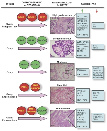 Histological and Molecular Heterogeneity in Epithelial ...