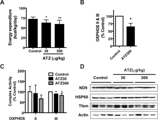 Mitochondrial OXPHOS activity of ATZ-treated rat skeletal muscle mitochondria.Rats on a regular diet were treated with or without ATZ for 5 months. (A) Dose-dependent decrease in energy expenditure in ATZ-treated rats, monitored using indirect calorimetry. (B) Decrease in OCR of complex II plus III in ATZ300-treated skeletal muscle mitochondria (n = 5). (C) Decrease in the activity of complex III enzyme in ATZ-treated liver lysates, determined by spectrophotometry (*p<0.05, **p<0.01; n = 5). (D) Western blot of muscle mitochondria proteins. Total skeletal muscle mitochondrial lysates from rats on a regular diet were subjected to western blot analysis using the indicated antibodies.