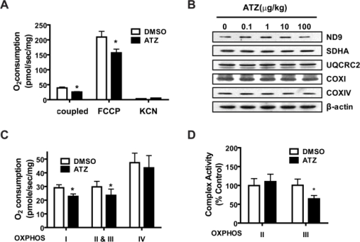 Decrease in endogenous oxygen consumption by ATZ in L6 cells.L6 rat skeletal muscle cells were treated for 48 hours with or without ATZ (100 µg/mL). (A) Endogenous cellular (coupled), FCCP-uncoupled (FCCP) and KCN-insensitive respiration (KCN) of trypsinized intact cells were measured in phenol red-free media using an Oxygraph-2K apparatus (*P<0.05; n = 3). (B) Western analysis of nDNA- and mtDNA-encoded OXPHOS complex subunit proteins. Complex I (ND9), complex II (SDHA), complex III (UQCRC2) and complex IV (COXI, mtDNA-encoded, COXIV, nDNA-encoded) were examined. β-actin was used as an equal loading control. (C) Oxygen consumption by each complex in digitonin-permeabilized cells was measured using an Oxygraph-2K apparatus (P<0.05; n = 4). (D) Enzyme activities of complex II or III were determined by spectrophotometry in ATZ-treated L6 muscle cells (*P<0.05; n = 3).