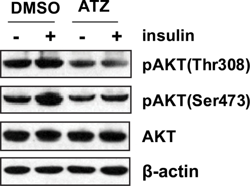 Inhibition of insulin signaling by ATZ.L6 cells were treated with ATZ (100 µg/mL) in DMEM containing 0.5% FBS for 24 hours and stimulated with insulin (100 ng/mL) for 30 minutes. The cells were harvested and analyzed by western blotting using anti-Akt or -pAkt antibodies. Akt Thr308 and Ser473 phosphorylation, both important in the insulin-signaling pathway, were blocked by ATZ treatment.
