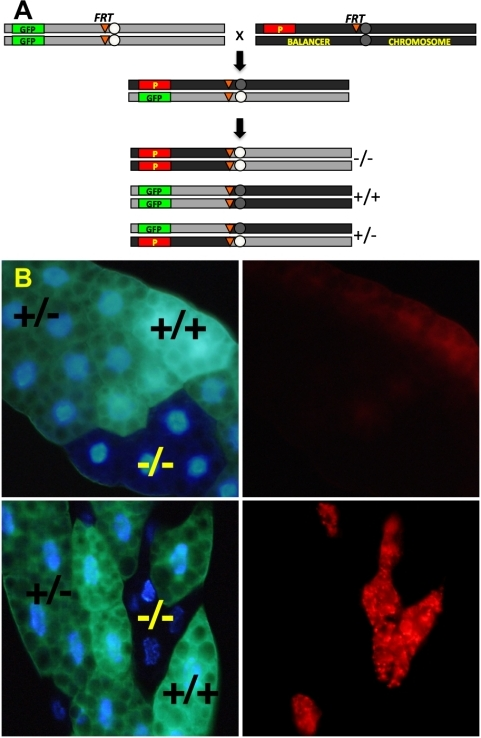 System of mitotic recombination for screening increased lysosomal activity in mosaic mutant Drosophila fat body.Adult virgin females of the GFP indicator strain (y w hsflp; UAS-2xeGFP FRT40A Fb-Gal4, hereafter referred to as FRT40AGFP) were crossed to males carrying P-element-induced mutations distal to FRT40A on chromosome 2 L (A). 6–8 hr embryo collections were immediately heat shocked at 37°C for 1 hour to activate the Flp recombinase. Flp-catalyzed mitotic recombination and subsequent chromosomal segregation early in embryogenesis leads to three cellular genotypes, distinguishable in the larval fat body by their GFP dosage: mutant (−/−, 0 GFP); heterozygote (+/−, 1 GFP); and wild type (+/+, 2 GFP). (B) The top panels show a negative control cross between FRT40AGFP and an isogenized FRT40A wild type strain, with LysoTracker staining on the right. Bottom panels show mutant clones with markedly increased LysoTracker staining relative to neighboring internal control cells, a phenotype which we designate LT+. All panels are unfixed dissected tissue imaged epifluorescently.
