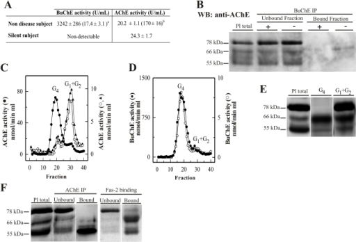 Plasma AChE levels in healthy controls (wild-type) after BuChE immunodepletion and in BuChE-silent individuals.(A) Control plasma was immunoprecipitated with anti-BuChE antibody and cholinesterase activity levels determined beforeb and aftera immunoprecipitation (n = 6; 46±4 yrs). AChE activity level in plasma from BuChE-silent individuals is also shown (n = 3; 30±5 yrs). The anti-BuChE antibody does not immunoprecipitate AChE in BuChE-silent plasma (not shown). Values are means ± SEM. (B) Immunoprecipitation of control plasma with antibody, followed by immunoblotting with the anti-AChE antibody, N-19. The presence (+) or absence (−) of the anti-BuChE antibody linked to the resin is indicated in the top margin. Prior to electrophoretic analysis, proteins abundant in plasma were depleted by immunoaffinity-based protein subtraction chromatography with IgY microbeads (Seppro™). The anti-BuChE antibody does not immunoprecipitate AChE. Extracts incubated with protein A-Sepharose, in the absence of the antibody, were analyzed in parallel as negative controls. (C) Representative profiles of AChE and (D) BuChE molecular forms (G4 = tetramers; G1+G2 = monomers and dimers) in control plasma samples before (•) and after (○) BuChE-immunoprecipitation, and in BuChE-silent plasma (▴). (E) Representative immunoblot of individual AChE G4 and G1+G2 peak-fractions separated by sucrose gradient centrifugation from control plasma and detected with the N-19 antibody (a similar volume for both the G4 and G1+G2 peaks was loaded in each lane). (F) Comparison of the AChE-banding pattern detected with the N-19 antibody, for fractions bound and unbound to the anti-AChE antibody HR2 and to the Fas2-Sepharose affinity matrix.