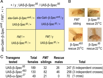Neuronal expression of UAS-β-Spec95 was sufficient to rescue the lethality of β spectrin mutants. (A) Rescue cross. The neuronal driver elav-Gal4 was recombined onto the X chromosome of a female fly heterozygous for the spectrin loss-of-function mutation β-Specem6. Heterozygous elav-Gal4-β-Specem6/FM7; +/+ female flies were then crossed to male flies carrying the myc-tagged wild-type transgene (+/Y; UAS-β-Spec95/ UAS-β-Spec95). Successful rescue was scored by the presence of a non-FM7 F1 male class (which lacks endogenous β spectrin). (B) Adult rescue flies. Flies rescued with the UAS-β-Spec95 transgene at 25°C were generally smaller than wild-type siblings (FM7/Y) and had wing unfolding defects similar to wild-type flies that overexpressed UAS-β-Spec95 (Table 1). In contrast, flies rescued with UAS-β-Spec493 at any temperature or with UAS-β-Spec95 at 22°C did not exhibit wing unfolding or body size defects. (C) Quantitative analysis of rescue. Neuronal expression of either the UAS-β-Spec95 or the UAS-β-Spec493 transgenes (both at 25°C) efficiently rescued the lethal β-Specem6 mutation at about the same rate as a ubiquitously expressed β spectrin transgene described previously (Dubreuil et al., 2000). Expression of UAS-α-Spec27 (negative control) did not produce the rescue class of male progeny.