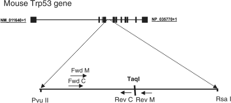 Target sequence in Trp53 locus used for RMC assay. A schematic drawing of the mouse Trp53 locus with the location of RMC target sequence is shown. Location of the TaqI restriction site is indicated, and control forward (Fwd C), control reverse (Rev C), mutant-specific forward (Fwd M) and mutant-specific reverse (Rev M) primers are designated with small arrows.
