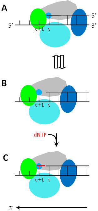 Schematic illustrations of the nucleotide binding recti open i schematic illustrations of the nucleotide binding rectification brownian ratchet model for the y family dna ccuart Image collections