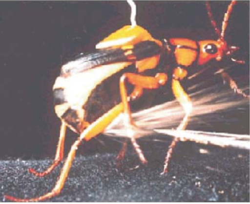 A bombardier beetle ejecting its water-steam jet. (From [36]).