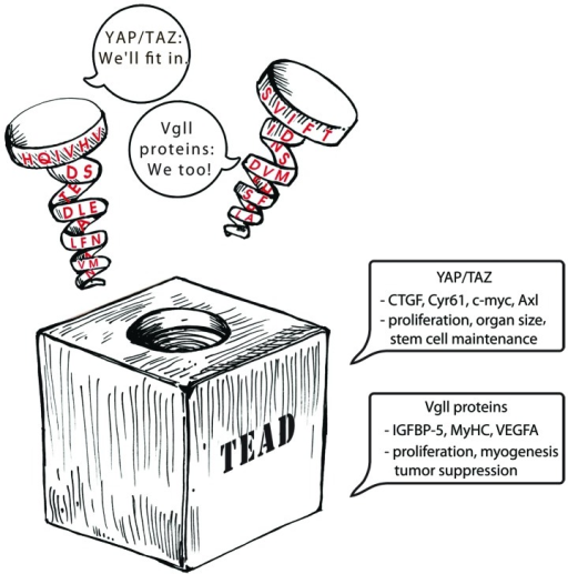Figure 3. Cartoon depicting the interaction among YAP/TAZ, Vgll proteins and TEAD. The TEAD-binding region of YAP/TAZ and Vgll proteins are represented as spirals. It adopts a similar structure and fits in the same groove on the surface of TEAD despite having a different primary sequence. YAP/TAZ and Vgll proteins pair with TEAD and upregulate gene expression. CTGF, Cyr61, c-myc and Axl are some of the genes that are upregulated by YAP and TAZ. YAP/TAZ play a significant role in proliferation, organ size and stem cell maintenance. Vgll proteins upregulate the expression genes such as IGFBP-5, myosin heavy chain (MyHC) and VEGFA. They play a role in proliferation, myogenesis and also appear to act as tumor suppressors in certain scenarios.