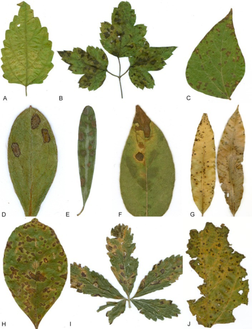 Leaf spot symptoms associated with various species from the Pseudocercospora complex. A. P. fatouae on Fatoua villosa. B. P. clematidis on Clematis apiicola. C. P. griseola on Phaseolus vulgaris. D. P. rhododendron-indici on Rhododendron indicum. E. P. pyracanthae on Pyracantha angustifolia. F. P. lonicericola on Lonicera japonica. G. Scolecostigmina mangiferae on Mangifera indica. H. P. fraxinites on Fraxinus rhynchophylla. I. Pseudocercosporella potentillae on Potentilla kleiniana. J. Pseudocercospora udagawana on Hovenia dulcis.