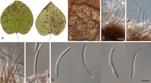 Pseudocercospora cercidicola (CBS H-20895). A. Leaf spots on upper and lower leaf surface. B. Close-up of leaf spot with fruiting. C, D. Fascicles with conidiophores and conidiogenous cells. E, F. Conidiophores on superficial hyphae. G. Conidia. Scale bars = 10 μm.