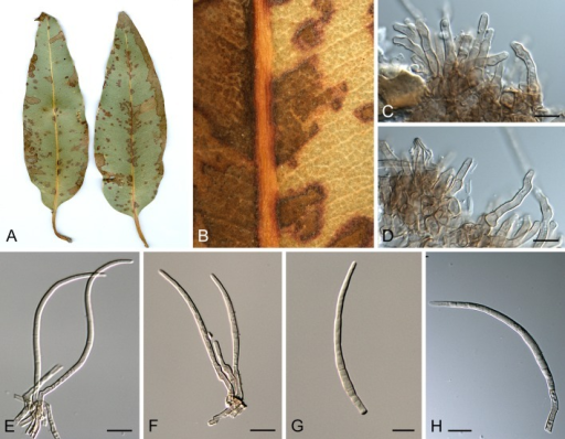 Pseudocercospora crispans (CPC 14883). A. Leaf spots on upper and lower leaf surface. B. Close-up of leaf spot with fruiting. C-F. Fascicles with conidiophores and conidiogenous cells. G, H. Conidia. Scale bars = 10 μm.