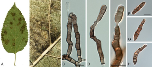 Pseudocercospora snelliana (CPC 11654-11656). A. Leaf spots on the lower leaf surface. B. Close-up of leaf spot with fruiting. C-E. Solitary conidiophores and conidiogenous cells. F-H. Conidia. Scale bars = 10 μm.