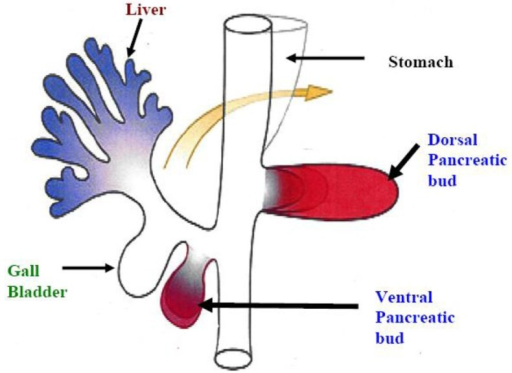 The pancreas is developed from fusion of ventral and dorsal bud.