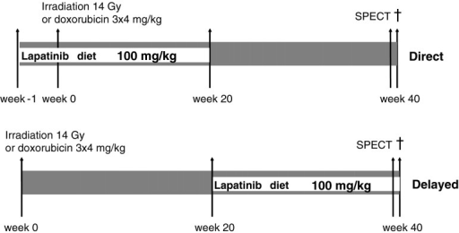 Schedule overview. Schematic representation of schedules for lapatinib given for 20 weeks in the chow, starting at the time of irradiation or doxorubicin (direct), or starting 20 weeks after irradiation or doxorubicin (delayed)